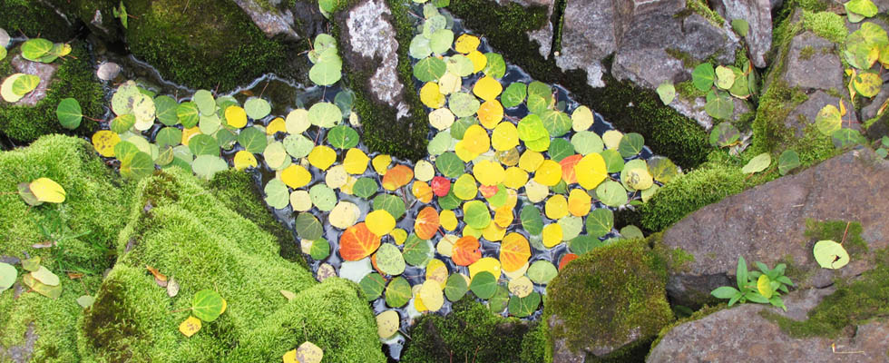 Rocky Mountain Leaves in Rock Puddle
